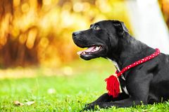 American Pit Bull. Terrier black on nature stock image