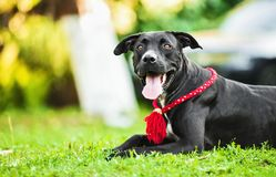 American Pit Bull Stock Photography
