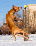 American Pit Bull Terrier catches ball Royalty Free Stock Image