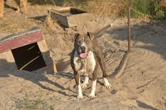 American pit bull terrier, chained