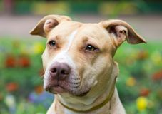 American Pit Bull Terrier close-up. Outdoor Portrait close-up American Pit Bull Terrier Royalty Free Stock Images