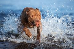 American pit bull terrier dog running in water. American pit bull terrier dog on the beach stock images