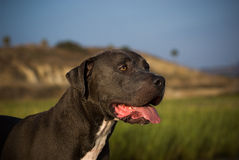 American Pit Bull Terrier Dog. Blue nose American Pit Bull Terrier dog with uncropped ears, against lagoon with reeds, hills, palm trees and blue sky royalty free stock image