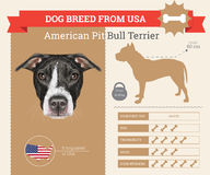 American Pit Bull Terrier dog breed  infographics Royalty Free Stock Images