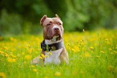 American pit bull terrier dog stock images