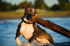 American Pit Bull Terrier dog. With cropped ears and studded leather collar running through water carrying huge log royalty free stock photo