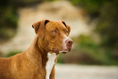 American Pit Bull Terrier dog. American Pit Bull Terrier portrait royalty free stock photography