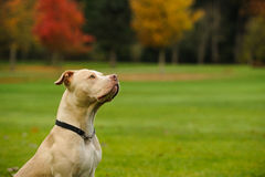 American Pit Bull Terrier dog. Portrait on grass field with colorful fall trees Royalty Free Stock Images