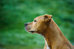 American Pit Bull Terrier dog. Profile against greenery Royalty Free Stock Photography