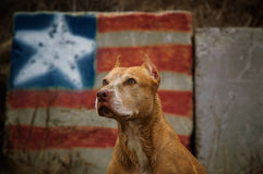 American Pit Bull Terrier dog. Red nose American Pit Bull Terrier dog against graffiti United State of America flag Royalty Free Stock Image