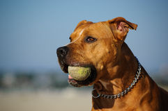 American Pit Bull Terrier dog. Red nose American Pit Bull Terrier dog holding a tennis ball and wearing a choke chain collar Stock Photos