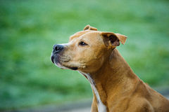 American Pit Bull Terrier dog. Red Nose American Pit Bull Terrier dog portrait against green grass Stock Images