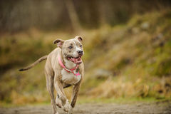 American Pit Bull Terrier dog. Reverse brindle American Pit Bull Terrier dog running with hills in the background Royalty Free Stock Photo