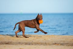 american pit bull terrier dog running on the beach Stock Images