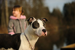 American Pit Bull Terrier dog. Spotted Blue Nose American Pit Bull Terrier with young girl in the background royalty free stock photos