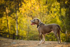 American Pit Bull Terrier dog. Standing in clearing by forest and wood fence Stock Image