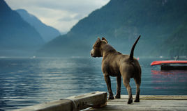 American Pit Bull Terrier dog. American Pit Bull Terrier standing on dock looking out at mountain inlet royalty free stock images