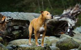 American Pit Bull Terrier dog. Standing on rock in dry river bed with large driftwood royalty free stock photos