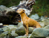 American Pit Bull Terrier dog standing in rock river Royalty Free Stock Photography