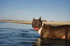 American Pit Bull Terrier dog. American Pit Bull Terrier wading into river water with beach Royalty Free Stock Images
