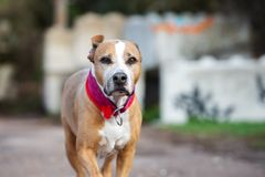 American pit bull terrier dog on a walk. American pit bull terrier dog outdoors Royalty Free Stock Photos