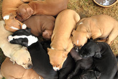 American Pit Bull Terrier dogs. Group of American Pit Bull Terrier dogs Stock Photo