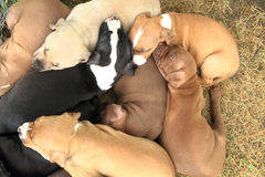 American Pit Bull Terrier dogs. Group of American Pit Bull Terrier dogs Royalty Free Stock Photo
