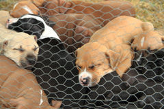 American Pit Bull Terrier dogs. Group of American Pit Bull Terrier dogs Stock Images