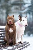 American pit bull terrier and english bull terrier dogs posing together on a bench. Brown american pit bull terrier puppy and english bull terrier dogs in winter Royalty Free Stock Image
