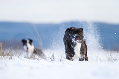 American Pit Bull Terrier Royalty Free Stock Photo