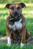American Pit Bull Terrier Stock Images