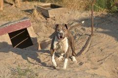 American pit bull terrier, furious, barking. Chained American pit bull terrier furiously barking. Outdoors, warm evening light Royalty Free Stock Photos
