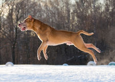 American Pit Bull Terrier jumping Stock Photography
