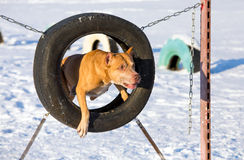 American Pit Bull Terrier jumping through a tire Royalty Free Stock Photography