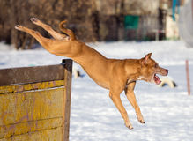 American Pit Bull Terrier jumps over hurdle Stock Photos