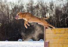 American Pit Bull Terrier jumps over hurdle. Dog breed American Pit Bull Terrier jumps over hurdle Royalty Free Stock Photo