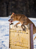 American Pit Bull Terrier jumps over hurdle Stock Image