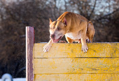 American Pit Bull Terrier jumps over hurdle Royalty Free Stock Photo
