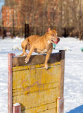 American Pit Bull Terrier jumps over hurdle Stock Images