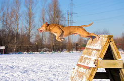 American Pit Bull Terrier jumps over an obstacle Stock Images