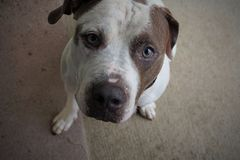 American Pit Bull Terrier. An American Pit Bull Terrier looking up Royalty Free Stock Images