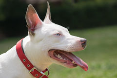 American pit bull terrier portrait. American pit bull terrier with blue eyes portrait Royalty Free Stock Photos