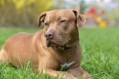 American Pit Bull Terrier portrait. Brown American Pit Bull Terrier portrait Royalty Free Stock Photography