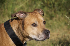American Pit Bull Terrier stock image