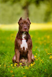 American pit bull terrier puppy Stock Photography