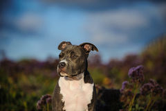 American Pit Bull Terrier puppy dog Stock Images