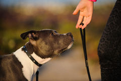 American Pit Bull Terrier puppy dog Royalty Free Stock Photos