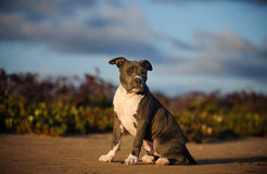 American Pit Bull Terrier puppy dog. Blue Nose American Pit Bull Terrier puppy dog sitting on dirt with field with purple flowers and blue sky with clouds Stock Image