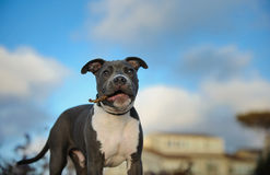American Pit Bull Terrier puppy dog Stock Photos