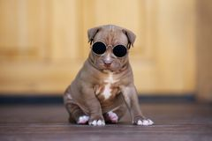 Adorable american pit bull terrier puppy posing outdoors Royalty Free Stock Photography